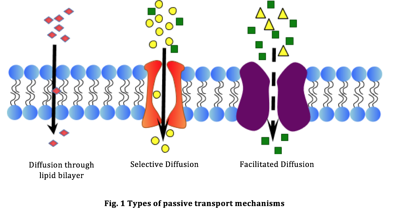 diffusion of substances across semi permeable membranes Osmosis is a special case of diffusion in which the molecules are water and the concentration gradient occurs across a semipermeable membrane.